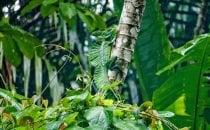 Basilisk, Tortuguero Nationalpark, Costa Rica