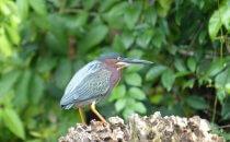 Green Heron, Tortuguero National Park, Costa Rica