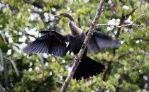 Kormoran, Tortuguero National Park, Costa Rica