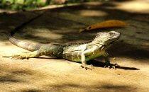 Leguan, Tortuguero Nationalpark, Costa Rica