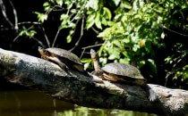 Turtles, Tortuguero National Park, Costa Rica