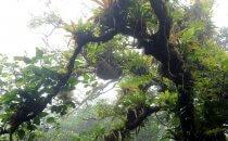Faultier im Nebelwald am Mombacho Vulkan, Nicaragua